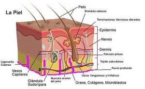 dermatólogo. Nuestra piel